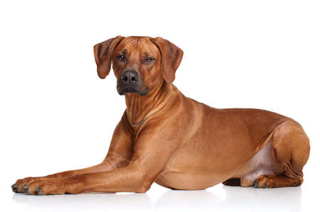background  white: Rhodesian Ridgeback dog on a white background
