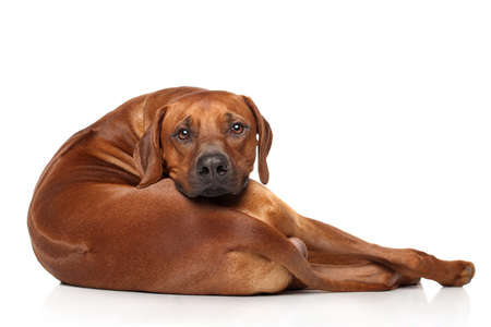 Rhodesian Ridgeback dog resting in front of white background 스톡 콘텐츠