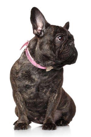 sits: French bulldog sits on a white background