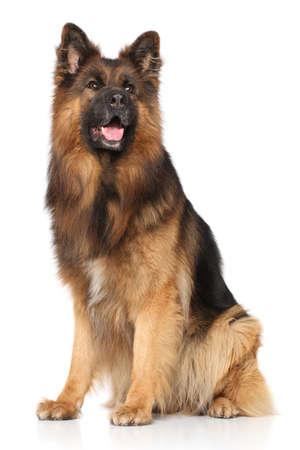 big dog: German shepherd dog sitting on white background