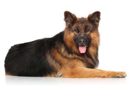 german shepherd dog: German shepherd dog lying on white background