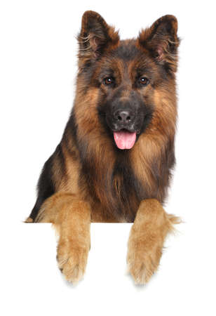 German shepherd dog isolated on a white background Stock Photo