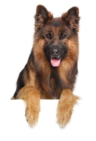 german shepherd dog: German shepherd dog isolated on a white background Stock Photo