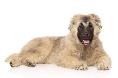 caucasian shepherd: Caucasian Shepherd puppy lying down on a white background