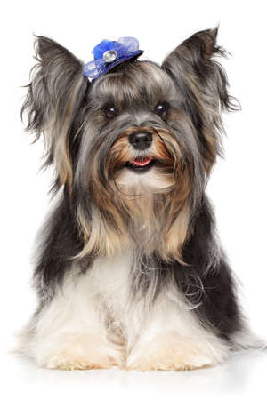 yorkshire terrier: Biewer Yorkshire terrier on white background Stock Photo