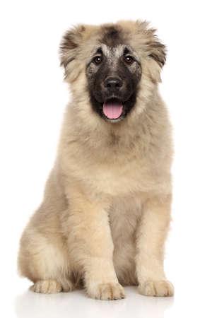 caucasian shepherd: Caucasian Shepherd puppy sits on white background