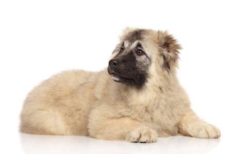 caucasian shepherd: Caucasian shepherd puppy on white background