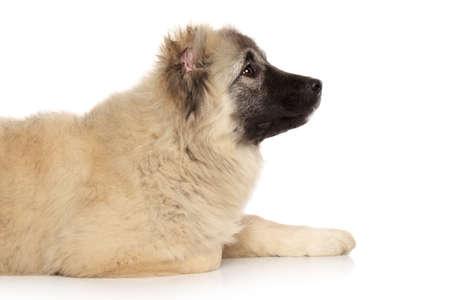 caucasian shepherd: Caucasian shepherd resting on white background Stock Photo