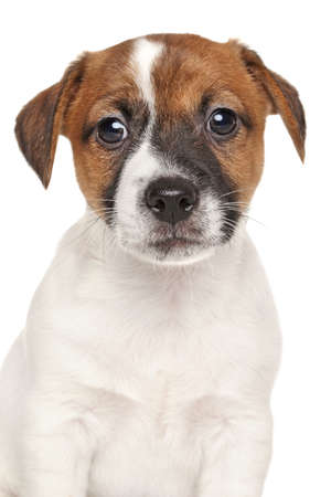 jack russell terrier puppy: Jack Russell terrier puppy. Close-up portrait isolated on white background