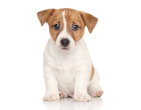 jack russell terrier puppy: Jack Russell terrier puppy on white background