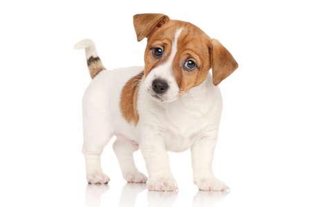 Jack Russell terrier puppy in de voorkant van de witte achtergrond