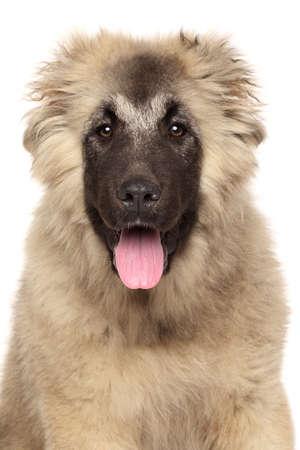 caucasian shepherd: Close-up portrait of Caucasian shepherd dog isolated on white background