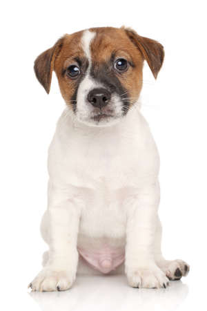jack russell terrier puppy: Portrait of a Jack Russell terrier puppy on white background Stock Photo