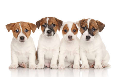흰색 배경 앞의 잭 러셀 테리어 강아지의 그룹