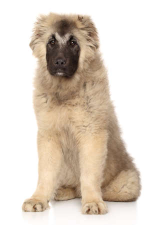 caucasian shepherd: Caucasian Shepherd puppy sits in front of white background