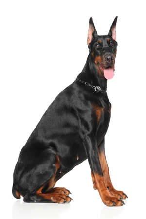 studioshot: Young Doberman sits on white background Stock Photo