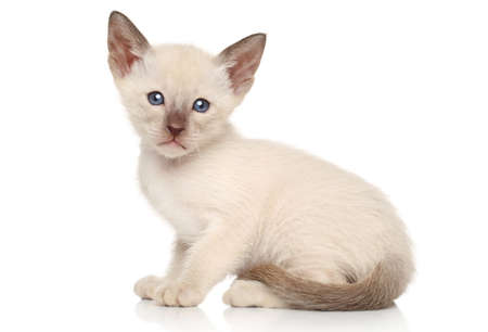 oriental white cat: Oriental kittens sits on a white background