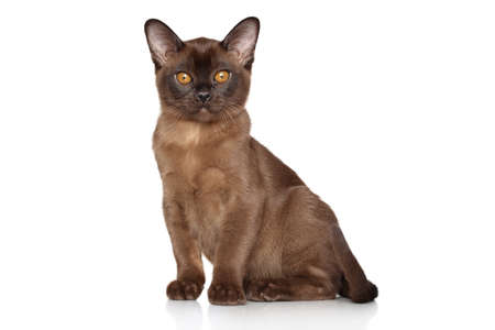 studioshot: Burmese kitten sitting on a white background