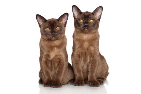 breeds: Two cat breeds Burmese sitting on white background Stock Photo