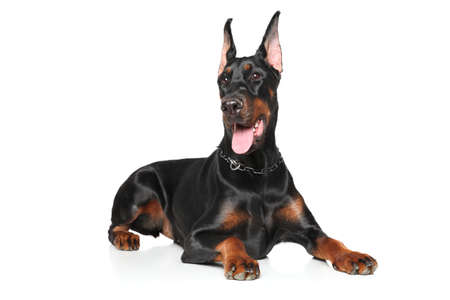 Young Doberman Pinscher lying on a white background