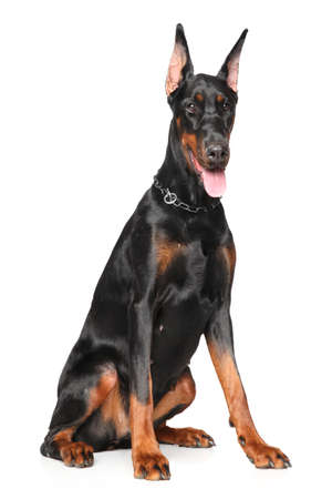 Young Doberman sits on white background Stockfoto