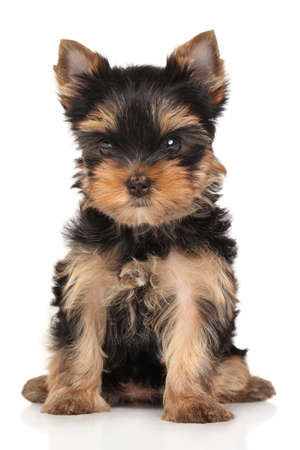 yorky: Yorkshire terrier puppy sits on a white background