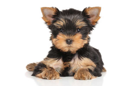 yorky: Yorkshire terrier puppy lying down on a white background Stock Photo