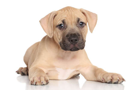 amstaff: Amstaff puppy lying down on a white background Stock Photo