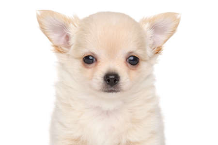 haired: Closeup portrait of Long haired Chihuahua puppy isolated on white background Stock Photo