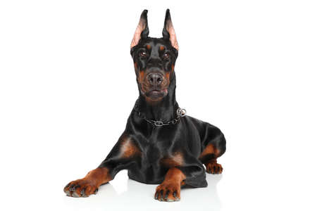 Young Doberman pinscher lying down in front of white background