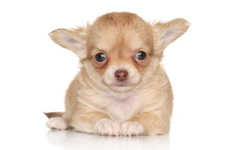 long haired chihuahua: Cute Chihuahua puppy lying on white background
