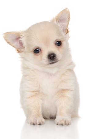 long haired chihuahua: Long haired Chihuahua puppy in front of white background Stock Photo