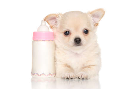 chihuahua puppy: Chihuahua puppy near small baby bottle on white background Stock Photo
