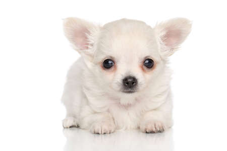 long haired chihuahua: Chihuahua puppy on white background