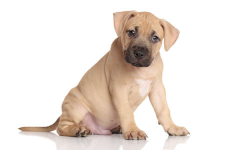 amstaff: American Staffordshire terrier puppy sits on a white background