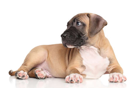 amstaff: American Staffordshire terrier puppy lying on a white background