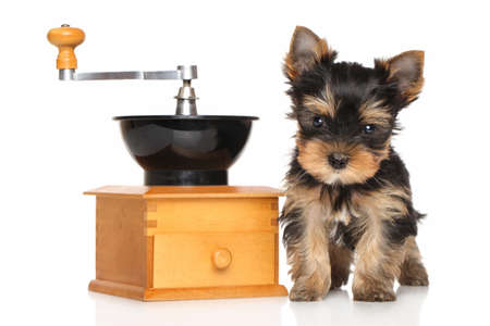 yorky: Yorkshire Terrier puppy near manual coffee grinders on a white background