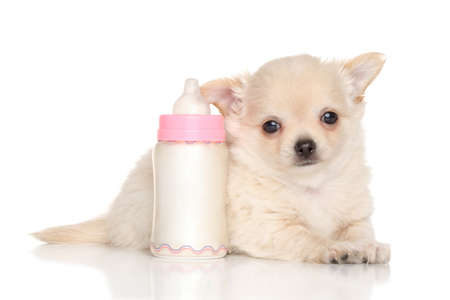 long haired chihuahua: Chihuahua puppy lying near baby bottle on white background