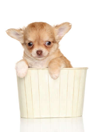 long haired chihuahua: Chihuahua puppy in a box on white background