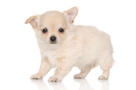 chihuahua puppy: Long haired Chihuahua puppy on white background