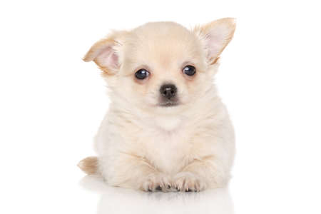 chihuahua puppy: Chihuahua puppy. Portrait on white background Stock Photo