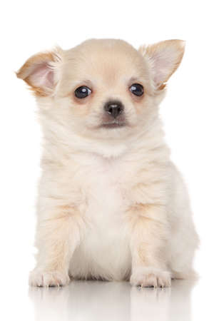long haired chihuahua: Chiwawa puppy in front of white background