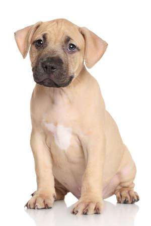 amstaff: Amstaff puppy. Portrait on a white background