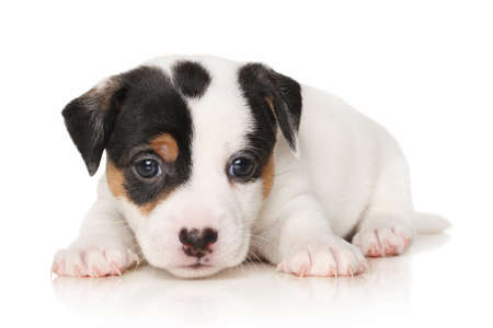 jack russell terrier: Jack Russell terrier 1 month puppy lying in front of white background