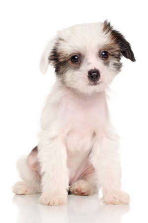 lapdog: Chinese Crested puppy months old sits in front of white background