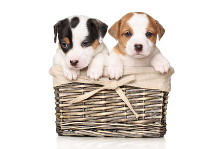 cute puppy: Jack Russell terrier puppies in wicker basket on white background