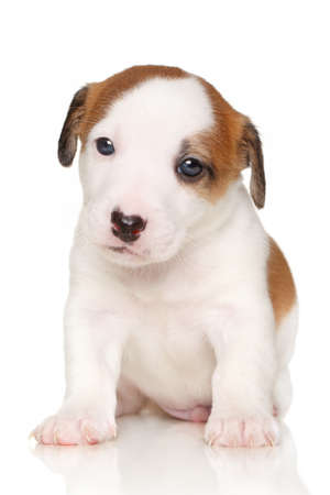 jack russell terrier puppy: Jack Russell terrier puppy sits in front of white background