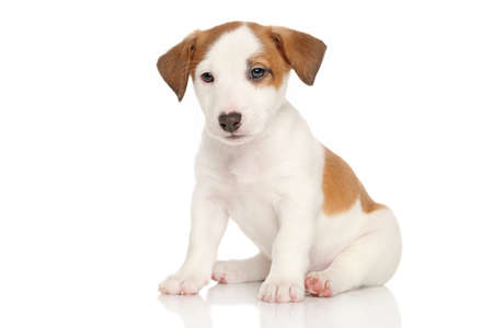 sits: Jack Russell puppy sits on a white background