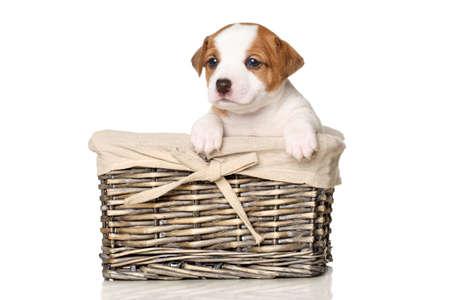 wicker basket: Jack Russell terrier puppy in wicker basket on white background