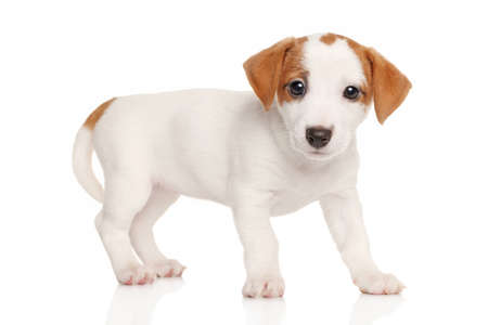 jack russell terrier: Jack Russell terrier puppy in front of white background Stock Photo